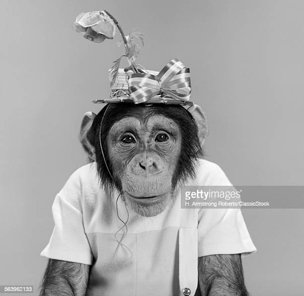1960s PORTRAIT MONKEY CHIMPANZEE WEARING STUPID FUNNY HAT WITH BOW AND FLOWER LOOKING AT CAMERA