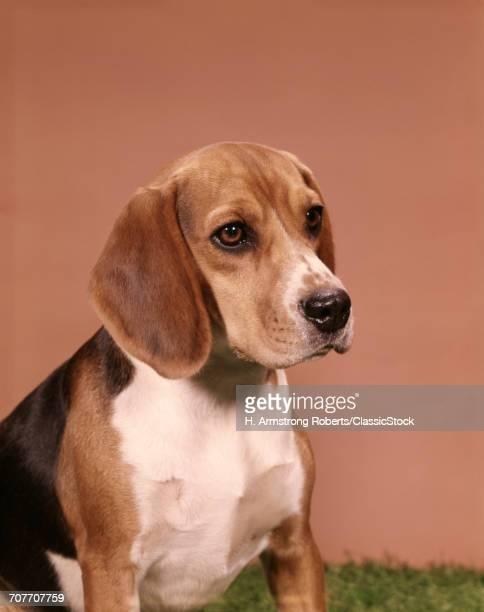 1960s PORTRAIT OF BEAGLE DOG
