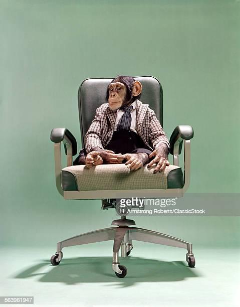 1970s CHIMPANZEE SITTING...