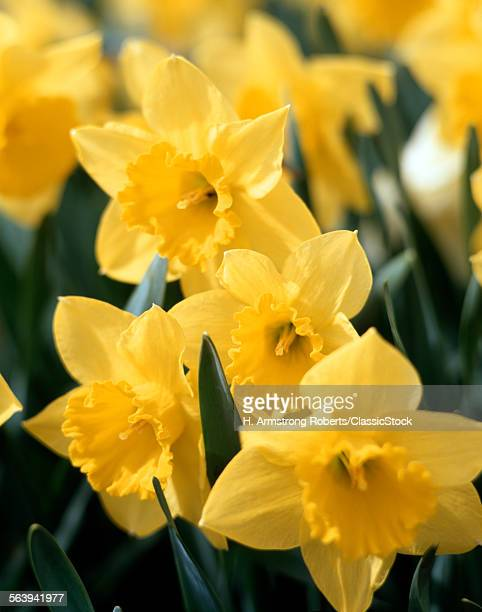 1970s CLOSE UP OF YELLOW DAFFODILS