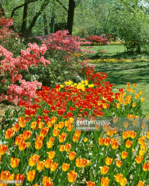 1970s COLORFUL SPRING GARDEN WITH RED AND YELLOW TULIPS AND PINK BLOSSOMS USA