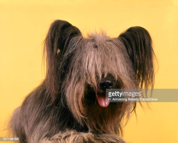 1970s SHAGGY DOG PORTRAIT...