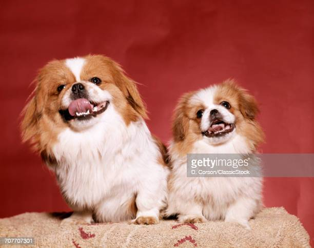1970s TWO PEKINESE DOGS...