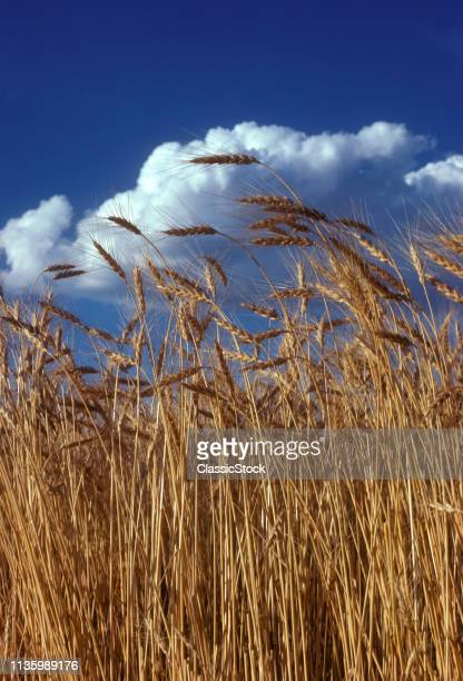 1970s WHEAT HEADS & CLOUDS...