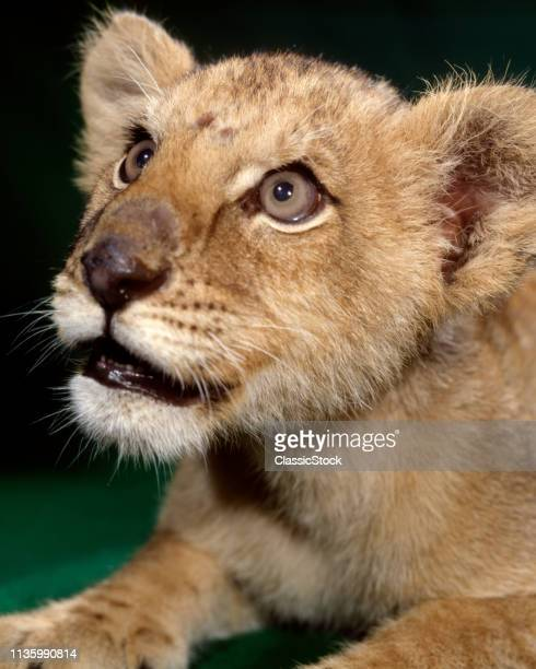 1970s YOUNG LION CUB BABY LOOKING UP WITH BIG SOFT EYES STUDIO INDOOR