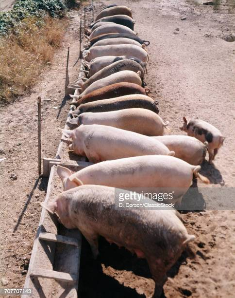 1980s ROW OF PIGS FEEDING FROM TROUGH ON FARM