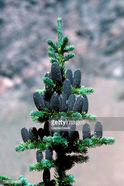 1980s Subalpine Fir Abies Lasiocarpa Seed Cones Are Purple Growing Upright At The Crown Of The Tree Rocky Mountain USA