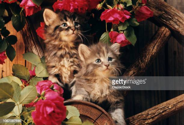 1980s TWO KITTENS CLIMBING ON WAGON WHEEL AMID WILD RED ROSES
