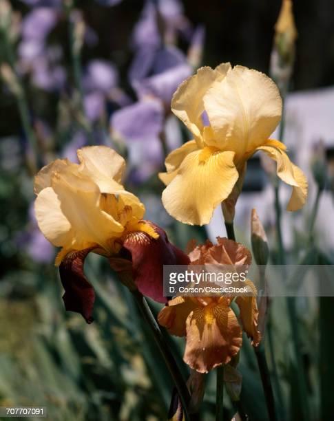 1980s YELLOW AND ORANGE BEARDED IRIS BLOOMS