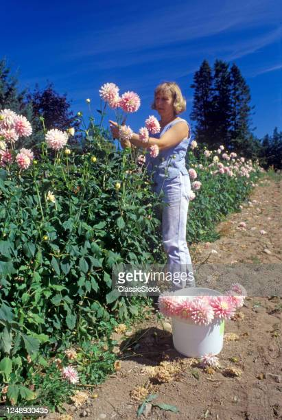 1990s Blonde Woman In Dahlia Garden Cutting Pink Blossoms