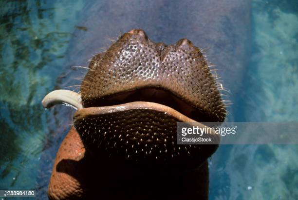 1990s Close-Up Of Hippopotamus Hippopotamus Amphibius Snout Mouth And Single Snaggletooth In Water Pool African Animals