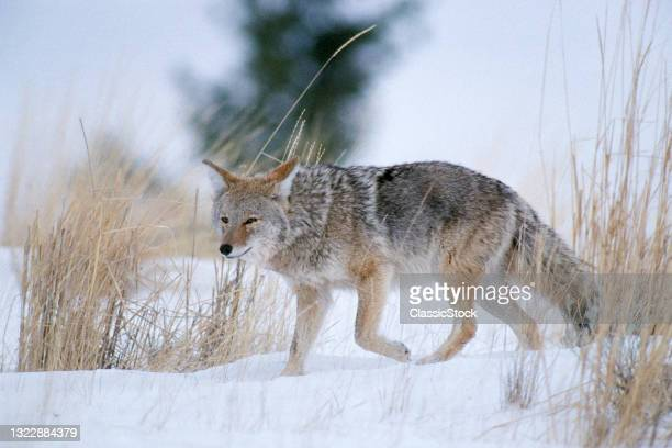 1990s Coyote Canis Latrans Walking In Snowy Meadow Yellowstone National Park Wy USA .