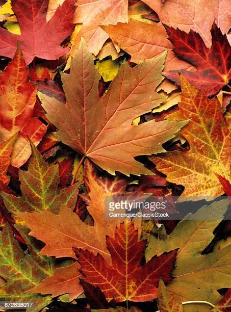 1990s FULL FRAME OF AUTUMN RED MAPLE TREE LEAVES