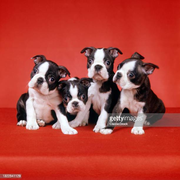 1990s Litter Of Four Wide-Eyed Bug-Eyed Boston Terrier Puppies Huddling Together Looking At Camera On Red Background FunNY Face.