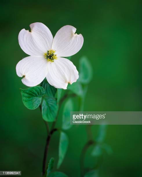 1990s ONE WILD WHITE DOGWOOD Cornus kousa BLOSSOM GREEN LEAVES ARKANSAS USA