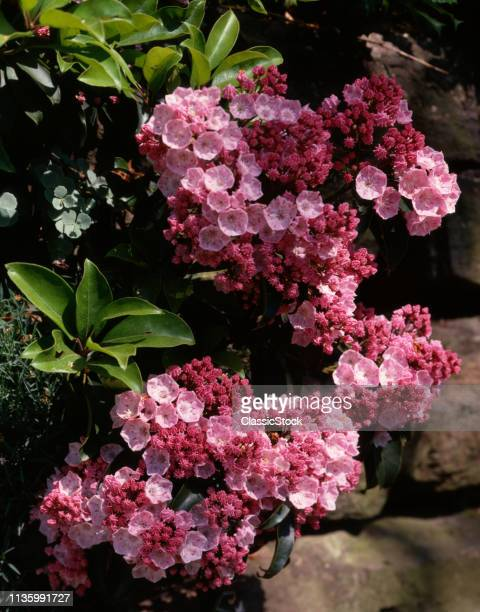 1990s PINK MOUNTAIN LAUREL Kalmia latifolia BLOOMING