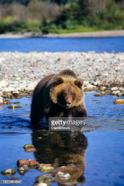 1990s Single Grizzly Bear Ursus Arctos Horribilis Walking In River Water Looking At Camera Montana USA.