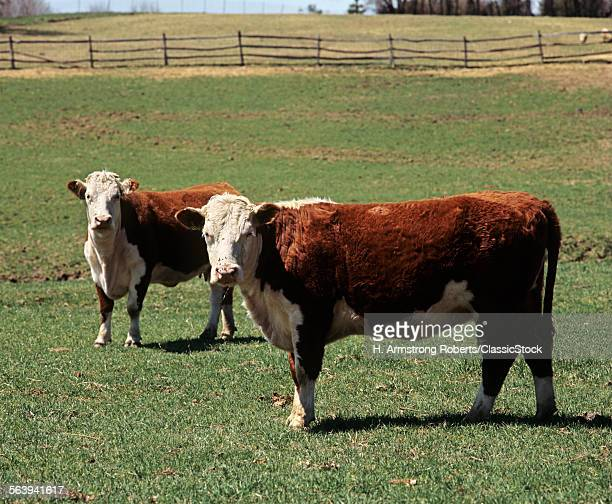 1990s TWO HEREFORD COWS IN FIELD LOOKING AT CAMERA