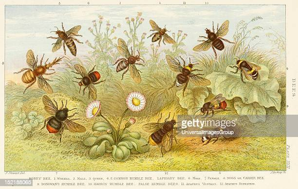 19th century depiction of Bees