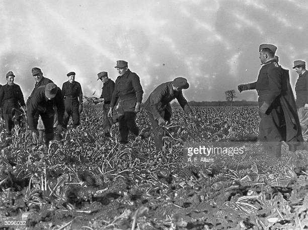 German prisoners of war harvesting sugar beet at Low Cottage Farm in Upwell, Norfolk.