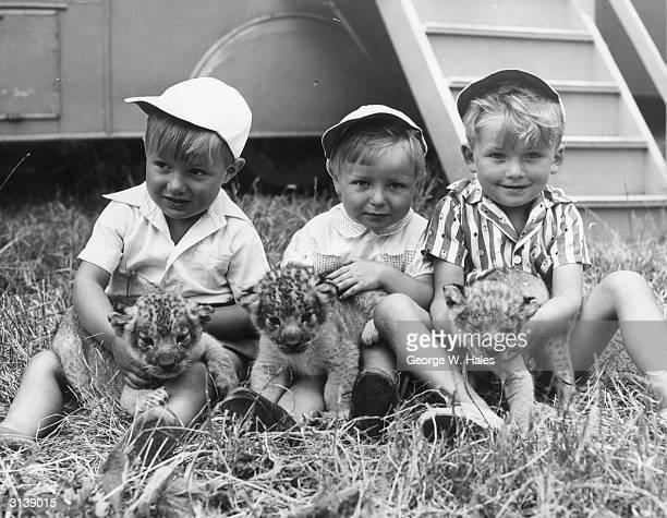From l to r Tommy Chipperfield Johnny Chipperfield and Jimmy Chipperfield of the circus family play with a trio of three week old lion cubs born in...