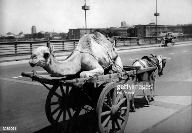 An ass pulls a cart carrying a camel along a road in Cairo