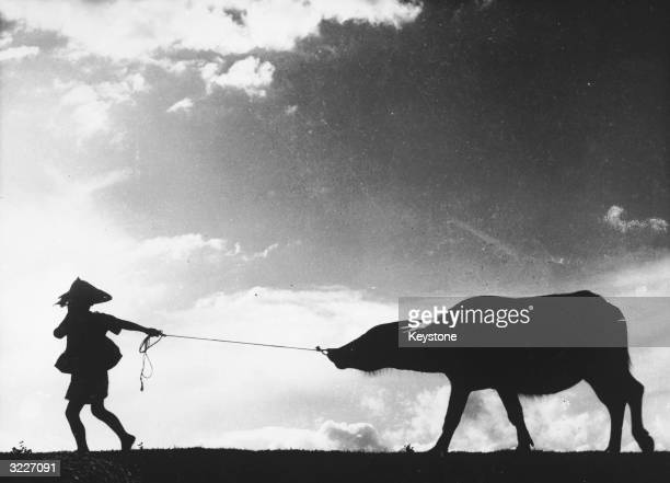 A Taiwanese farm worker pulls a water buffalo by the nose after a long day working in the rice fields