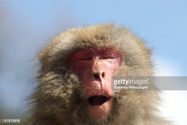 A 19yearold Japanese macaque monkey named Monday sneezes while suffering an allergy to pollen from the cedar tree at Awajishima Monkey Center on...