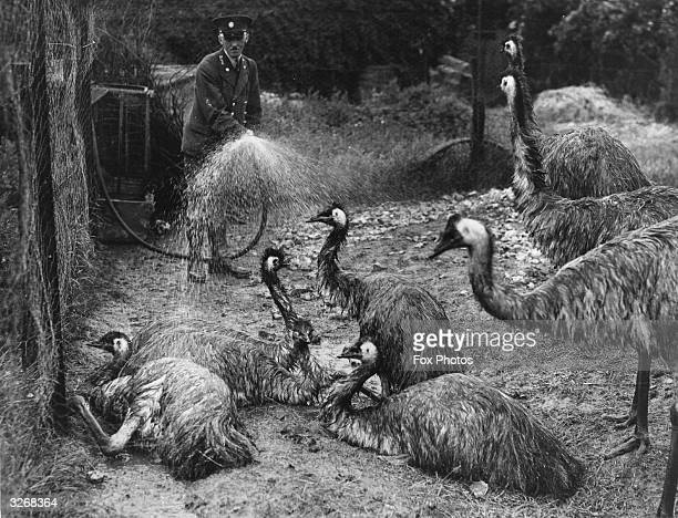 A group of emus at Whipsnade Zoo flock around their keeper in order to be sprayed with cold water on a hot day