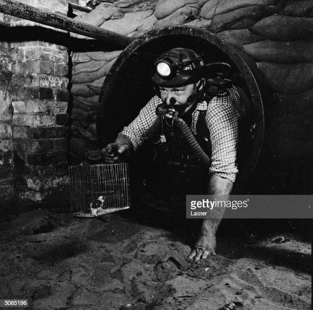 Welsh miner Charlie Williams with a canary at Dinas in the Rhonda Valley South Wales Canaries are used as a safety measure against methane in mines
