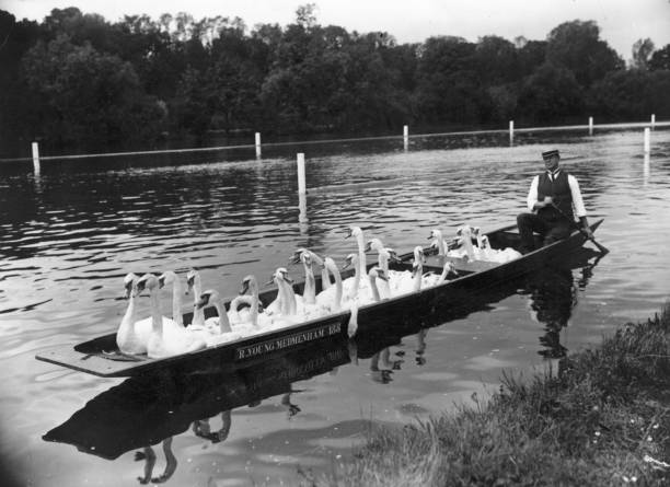 Swans being removed from Henley Reach by punt, in peparation...