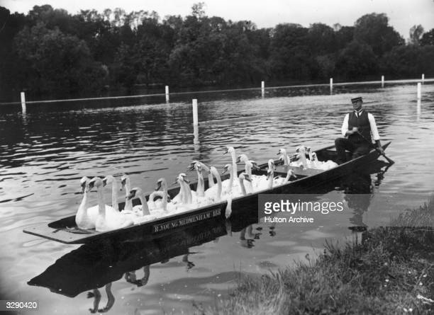 Swans being removed from Henley Reach by punt in peparation for the practices of Henley Regatta June 1900