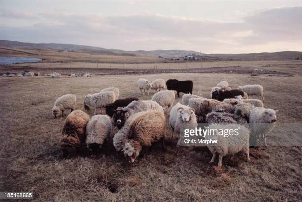 1st JUNE: A flock of sheep graze on one of the Shetland Islands in June 1970. The wool from these sheep is used to make Fair Isle sweaters.