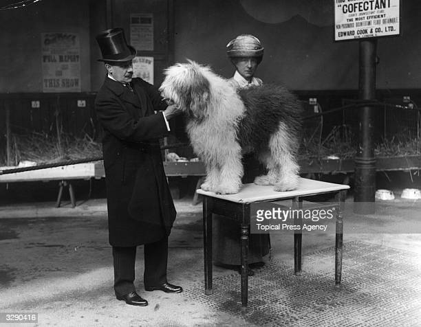 An old English sheep dog is examined by a vet at the Championshp Show of Old English Sheepdogs at Aldridge St Martin's Lane