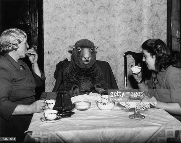 Farmer Mrs Maud Lee and her daughter Pat enjoy elevenses at their farmhouse in Keynsham near Bristol with their pet lamb Betty