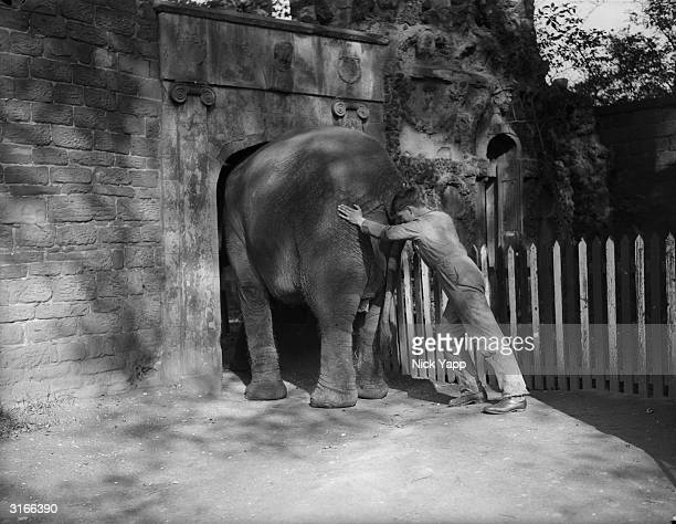 'Monice' the elephant is wedged in an archway during her morning walk with her keeper through the grounds at Liverpool Zoo