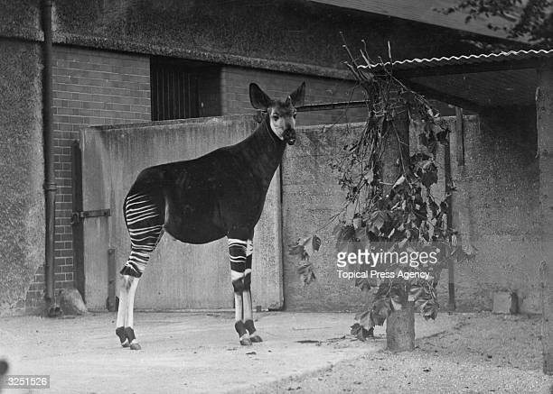 The new Okapi presented to Regent's Park Zoo by George VI who received it as a gift from the King of Belgium