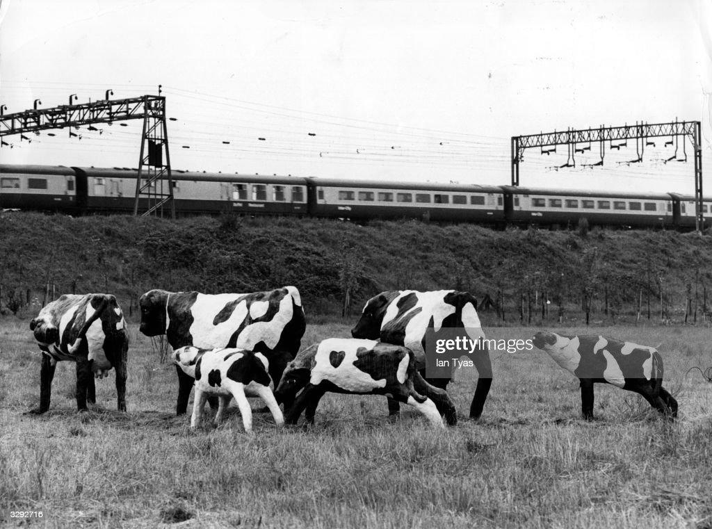 Concrete Cows : News Photo