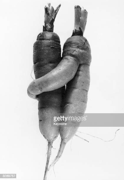 Recently harvested in Switzerland a pair of carrots have been removed from their secret subterranean embrace
