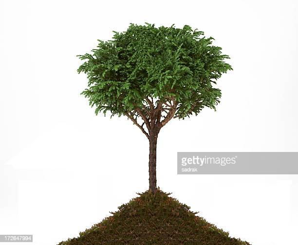 1st tree - juniper tree stock pictures, royalty-free photos & images