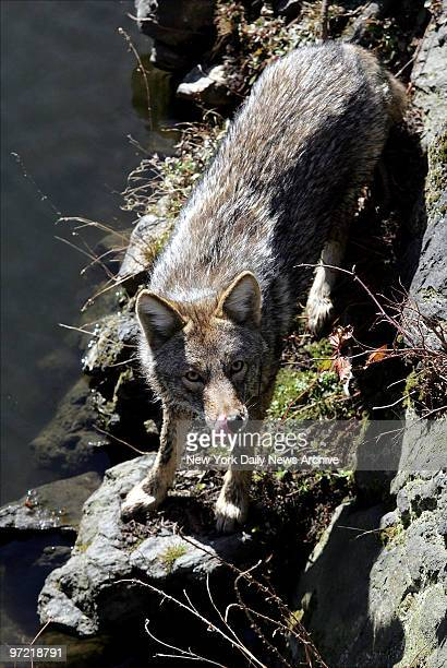 A 1yearold coyote which led authorities on a twoday chase through Central Park is spotted on some rocks near the water The wily coyote nicknamed Hal...