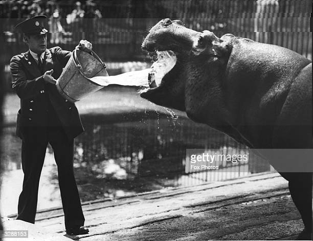 When Joan the hippopotamus at London Zoo is thirsty her keeper provides a good bucketful of water for her