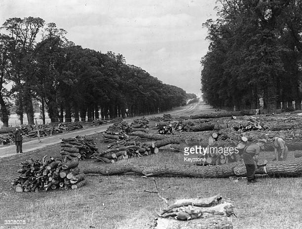 Diseased elm trees in the Long Walk at Windsor Castle being sawed into pieces having been felled. Planted by Charles II the two and a half mile long...