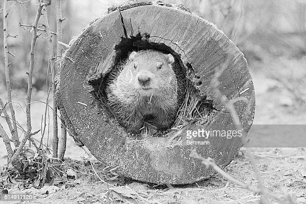 2/1/1975Chicago IL Lincoln Park Zoo's groundhog Chubby II predicts an early spring Zoo Director Lester Fisher lured Chubby II from his winter burrow...
