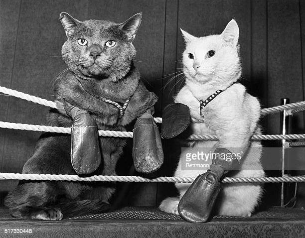 Dogged determination lights the eyes of these boxing cats who perform nightly at Abe's Colony Club in Dallas TX Champ Patterson and Frisco Kid wear...