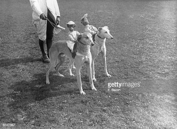 Greyhounds with stuffed and sprung model monkeys strapped to their backs before a hurdle race at Wellinborough