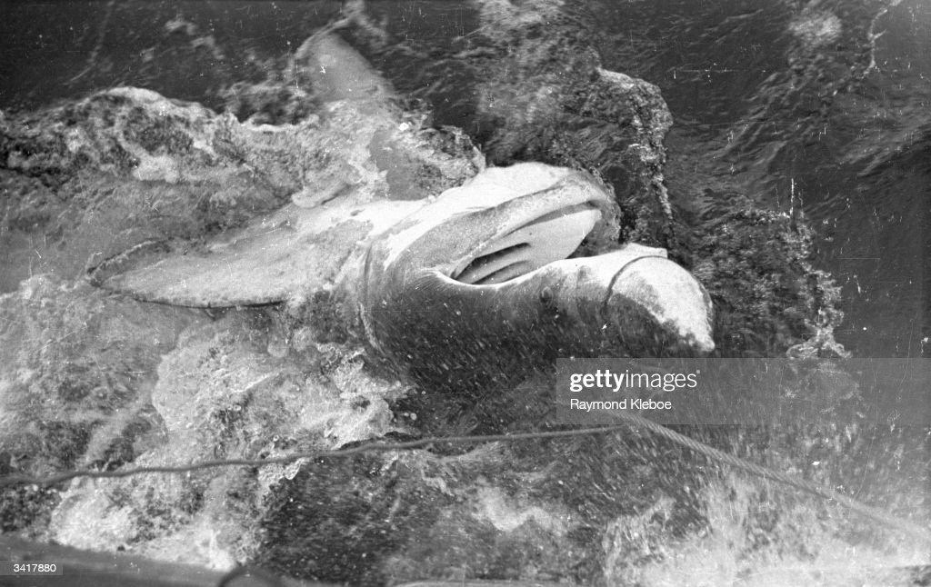 Snared Basking Shark : News Photo