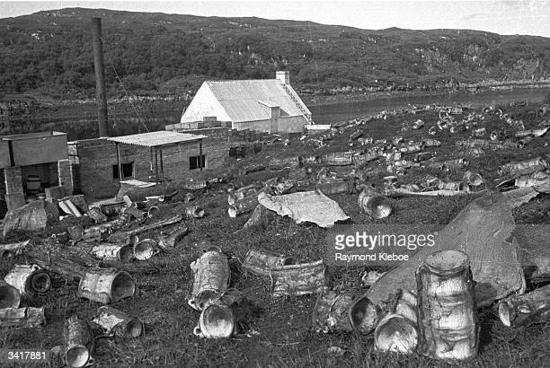Bones of slaughtered basking sharks at the shark 'factory' on Soay in the Western Hebrides Scotland ExScots Guard Major Gavin Maxwell purchased the...