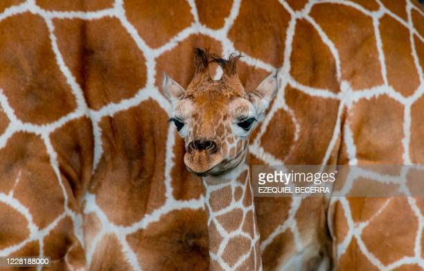 Day-old giraffe calf named Zafira is seen next to her mother Ileana at the La Ponderosa Adventure Park in Guanacaste, Costa Rica, on August 22 amid...