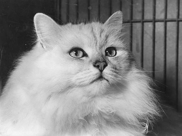 'Arctic Snow' the white chinchilla cat, winner of the...
